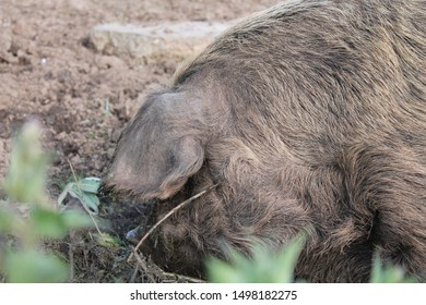 Head of a hairy pig nosing in the mud behind some foliage
