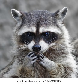 The head and hands of a cute and cuddly raccoon, that can be very dangerous beast. Side face portrait of the excellent representative of the wildlife. Human like expression on the animal face.