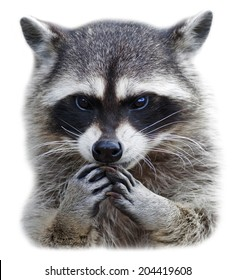 Head and hands of a cute and cuddly raccoon, isolated on white background. Side face portrait of excellent representative of the wildlife. Human like embarrassed expression on the animal face.
