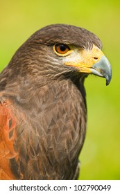 Head of Harris Hawk or Parabuteo unicinctus in side angle view - also called Dusty- or Baywinged hawk