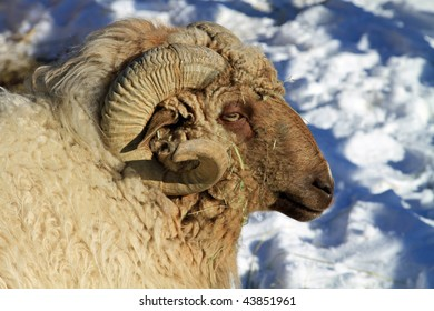Head of a healthy ram, with horn