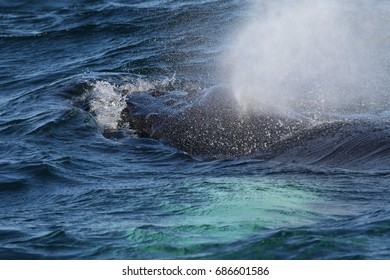 Head of the humpback whale with water sprey. An endangered marine mammal species occurring in arctic regions, made in Iceland.