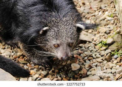 A head of interesting animal named Binturong or bearcat on stones ground. He trying find some food and he is frightened