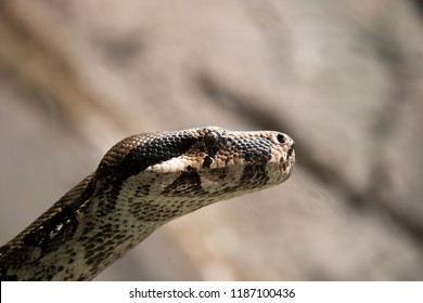 Head jf the boa constrictor (Boa constrictor), also called the red-tailed boa or the common boa
