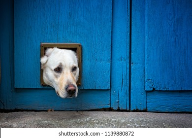 Head of Labrador dog sticking through cat flap