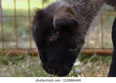 Head of a lamb at a sheep farm