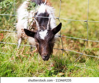 Head of lamb or sheep or goat stuck in wire fence in english lake district field