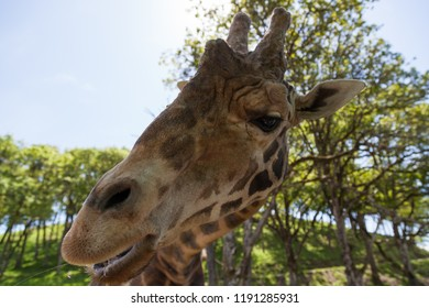 The head of a large adult giraffe eating a snack with a blurred background of oak trees in spring.