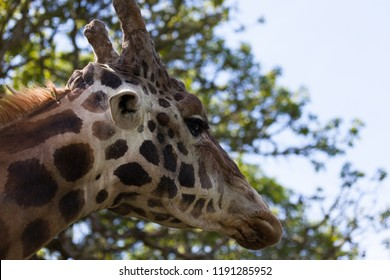 The head of a large adult giraffe in profile as it walks away on a spring day.