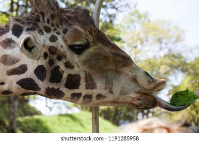 The head of a large adult giraffe in profile using its tongue to reach for a piece of lettuce.