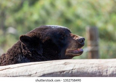 The head of a large black bear looking over a bleached log in the sunshine.
