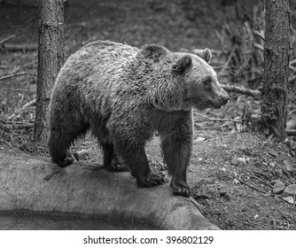 The head of a large brown bear. The Dancing Bears Reserve was founded in 2000 by French actress Brigitte Bardot - Belitsa, Bulgaria (black and white)