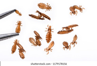 Head lice louse hair isolated on a white background.