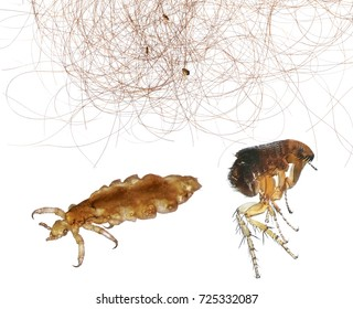 Head lice (louse) on human hair and Flea or Human Flea (Pulex irritans) isolated on a white background