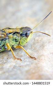 The head of a locust a closeup. Locust invasion