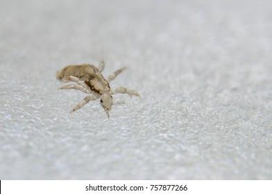 Head louse. Ectoparasite sucking human blood. Head lice.