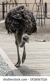 The head is lowered and the ostrich approaches