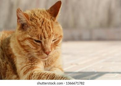 Head of a lying red cat in a garden