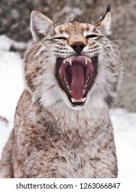 The head of the lynx is a close-up, the big cat is yawning exposing the red mouth or is yelling loudly, the spring mew of cats.