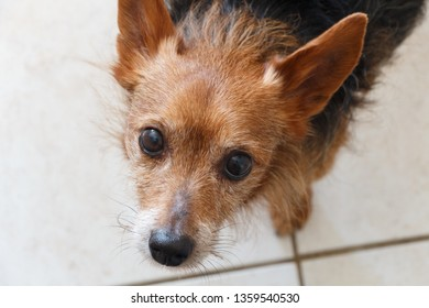 Head of a mixed breed Yorkshire Terrier looking at the camera