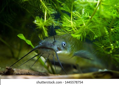 head, mouth and barbels of a juvenile dangerous invasive freshwater predator channel catfish, Ictalurus punctatus attentively stare in European cold-water biotope aquarium