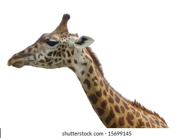 Head and neck of african giraffe isolated on white