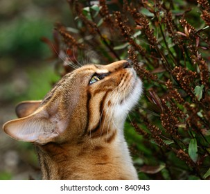 The head and neck of Bengali special breed kitten stretching and sniffing plant.