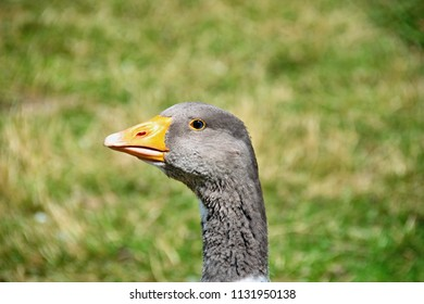 head, neck, and eye of a gray goose in the yard