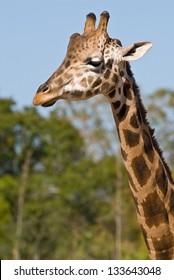 Head and neck of a giraffe facing left of camera