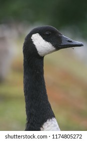 Head and neck of a goose.