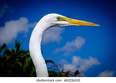 Head and neck of Great White Egret against blue sky