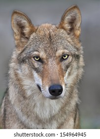 The head and neck of a young, two year old, european wolf female. Face portrait of a forest dangerous beast, Canis lupus lupus, on blur background. Beauty of the wildlife.