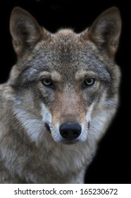The head and neck of a young, two year old, european wolf female. Face portrait of the forest dangerous beast, Canis lupus lupus, isolated on green background. Beauty of the wildlife.