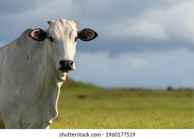 head of Nelore cattle with space for text