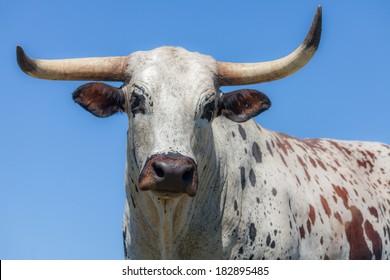 The head of an Nguni cow