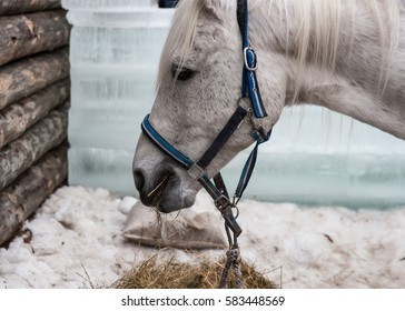 Head of a nice and calm white horse (equus ferus caballus). The beautiful animal eats hay, which lay on the snow by the wooden wall.