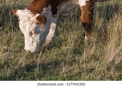 Head and nose of a grazing cow in a green grassland