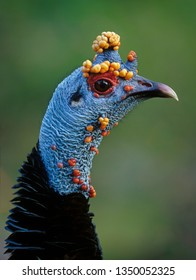 Head of ocellated turkey (Agriocharis ocellata). Belize, Central America. - Shutterstock ID 1350052325