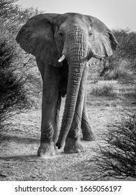 Head on conrrontation with a massive male African Elephant