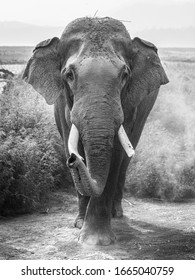 Head on encounter with an Indian elephant