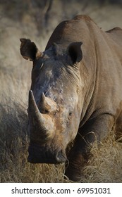 Head on image of a White Rhinoceros