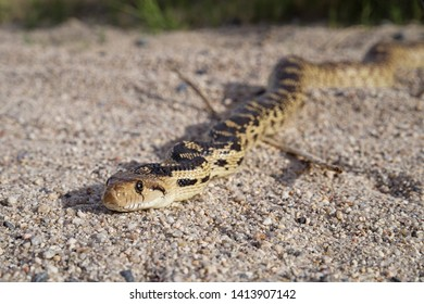 head on view of a gopher snake or Pituophis catenifer on sand