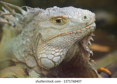 The head of an ordinary iguana close up