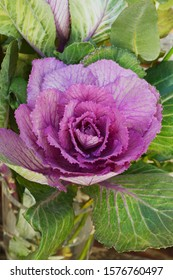 Head of ornamental cabbage with purple and green leaves for a brassica flower arrangement