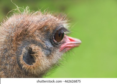 The head of an ostrich close up on a green background. Small depth of sharpness, in a shot of eyes and a pink beak