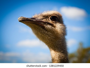 Head of an ostrich looking into the distance. Large flightless bird towers over the viewer. Largest living bird.