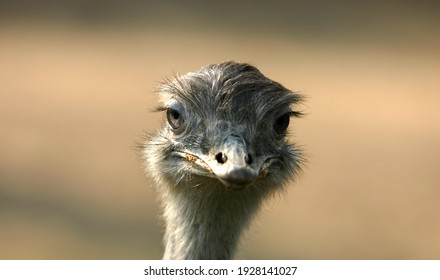 Head of ostrich on clear sky. Ostrich beak. Portrait from ostrich head. The African ostrich looks into the camera, has a funny look. The largest living bird. Zoo bird