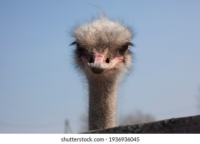 The head of an ostrich is photographed close-up against the sky.