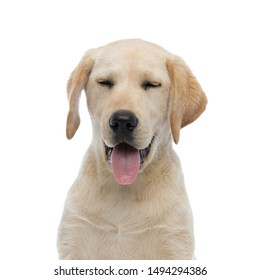 head of a panting sleepy labrador retriever puppy dog on white background