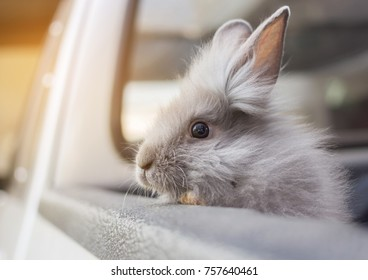 the head part of gray rabbit in the car